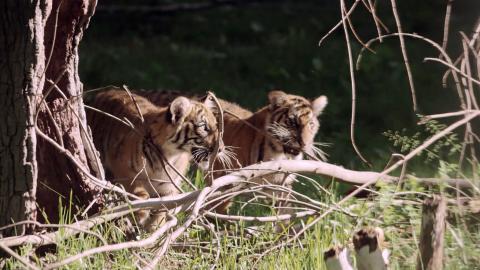 {S}01.{E}01: Kleine Tiger werden groß