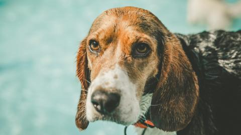 {S}01.{E}04. Wandering Beagle