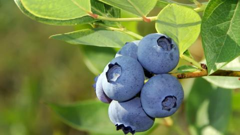 {S}24.{E}15. Pasta Dies, Blueberries