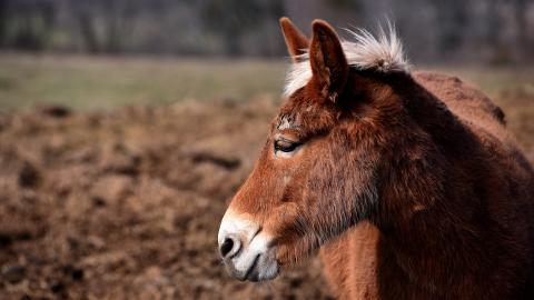 Charlie The Mule