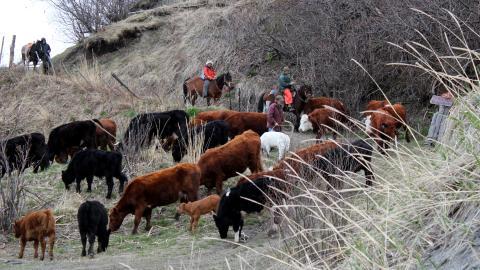 {E}03: Cattle Drive