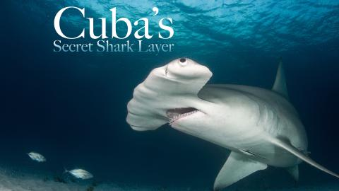 Cuba's Secret Shark Lair