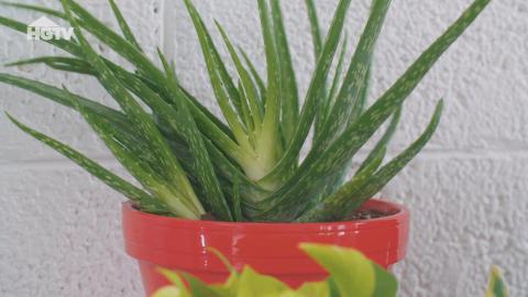 So pflegst und nutzt du Aloe Vera richtig