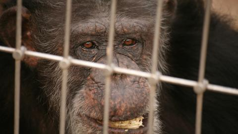 Fred The Chimpanzee